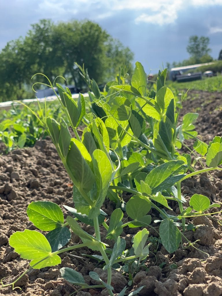 Farm Truck Pea Shoots